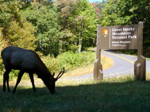 Elk on Balsam Mountain