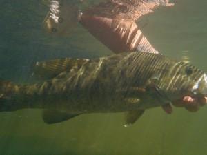 Tuckasegee Smallmouth Bass