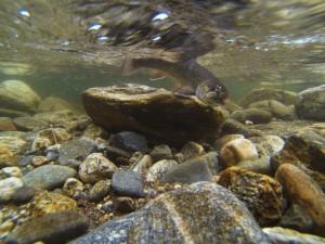 west fork pigeon river, nc