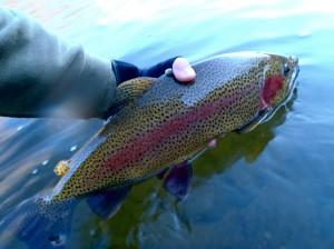"""23-24"""" Rainbow on the Tuckasegee Delayed Harvest"""