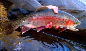 Beautiful Wild Male Rainbow on the Nantahala River