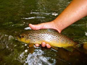 Beautiful Wild Brown caught and released in the Great Smoky Mountains National Park
