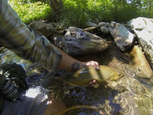 Nice Smoky Mountain Brown Trout